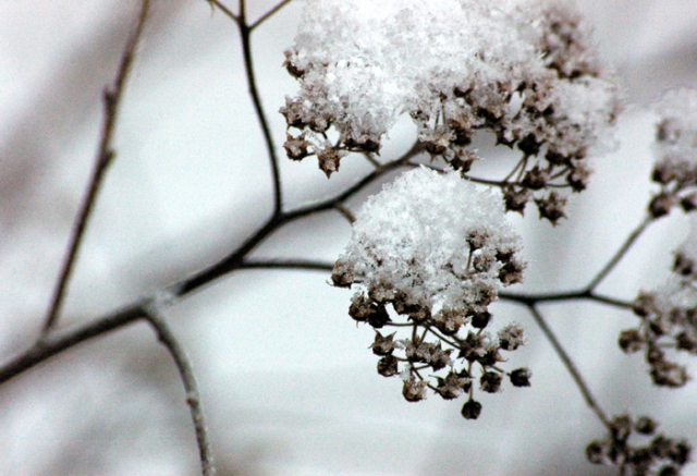 Spirea in Snow
