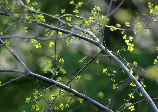 Spring Green Branches