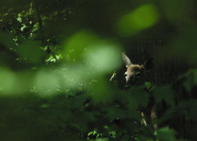Hiding Deer