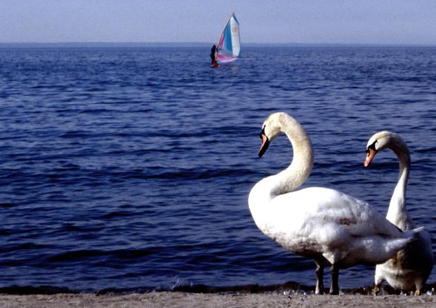 Oakville Swans