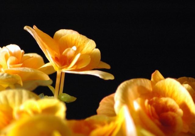 Golden Begonias