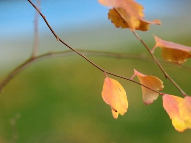 Spirea branches