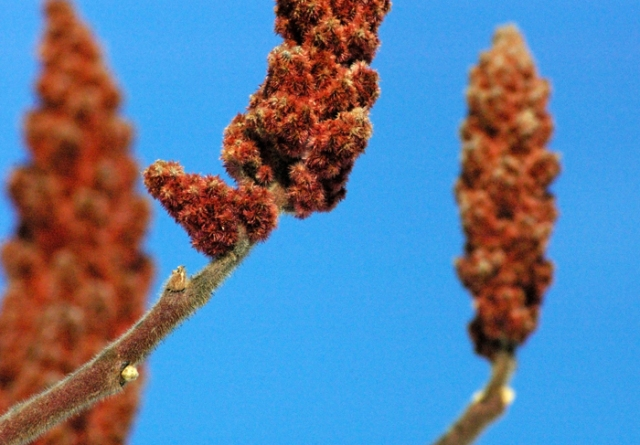Staghorn Sumac and blue sky