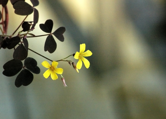 purple shamrock with yellow flowers