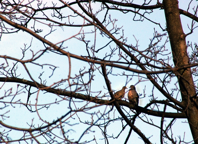 Two Mounring Doves