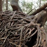 Magical Cedar