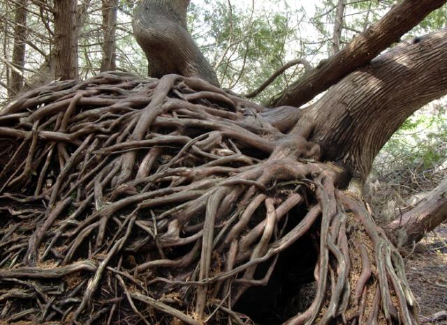 Cedar tree roots