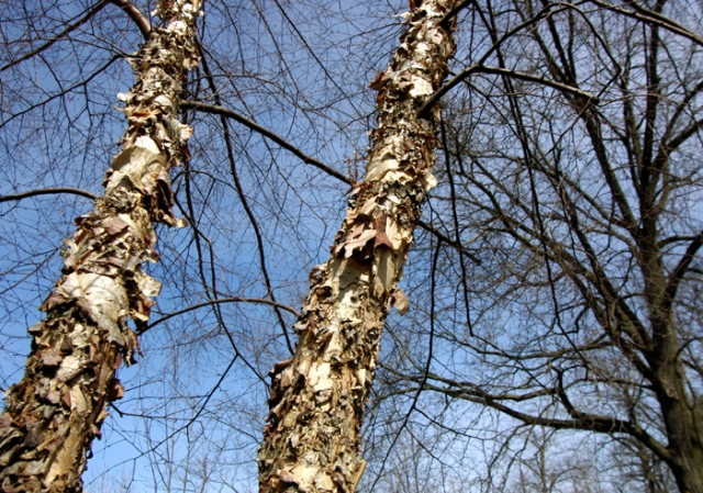 Two River Birch tree trunks