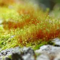 Fire Moss
