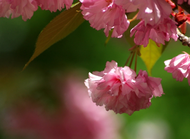 Large Pink Blossom