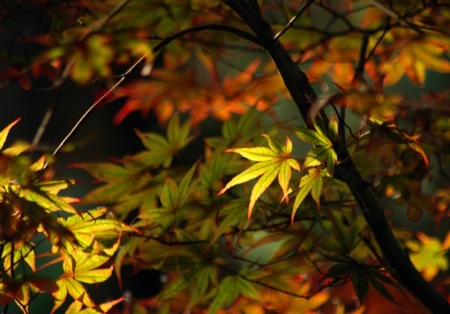 Japanese Maple Glow