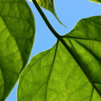 Catalpa Leaves