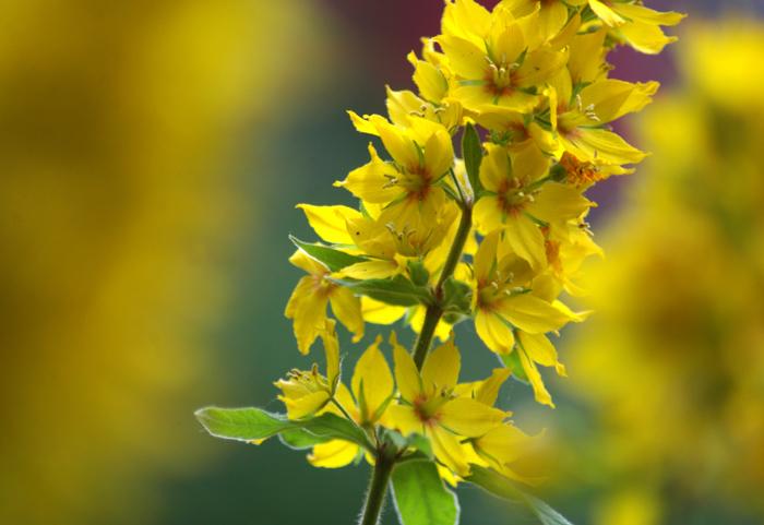 Latin Name Lysimachia Punctata Is An Herbaceous Perennial Not