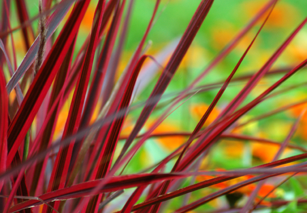 Red grass imagery of light for Perennial grasses red