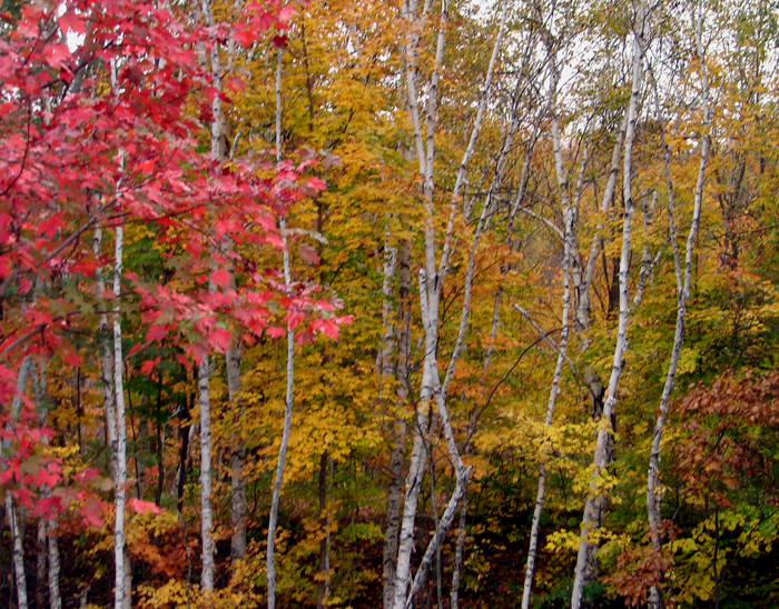 Young Birch Grove