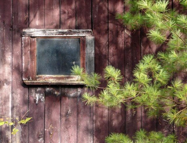 Shed Window and Pine