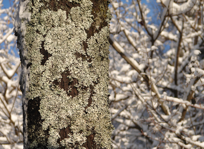 Lichen and Snow