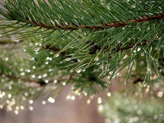 Sparkling Pine