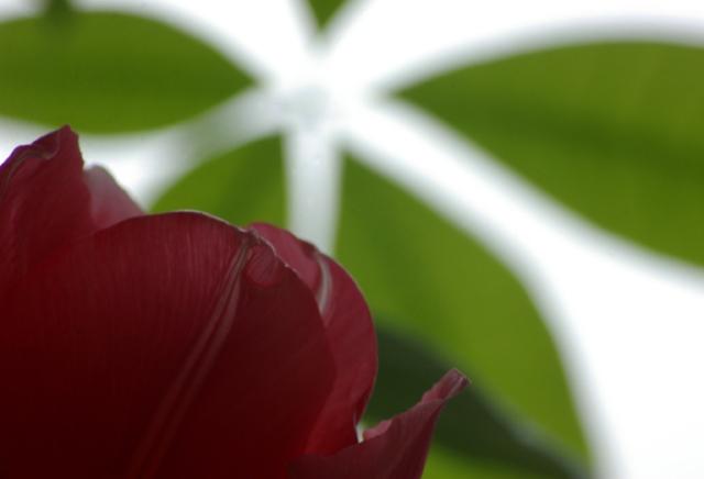 Tulip and Money Tree