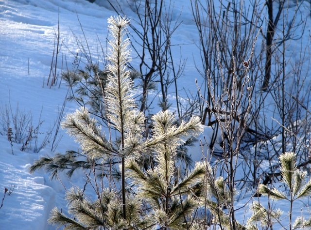 Baby Pines