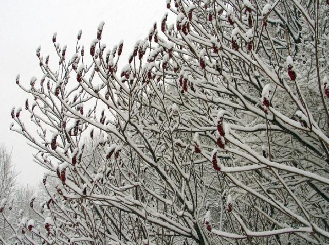Snowy Sumac