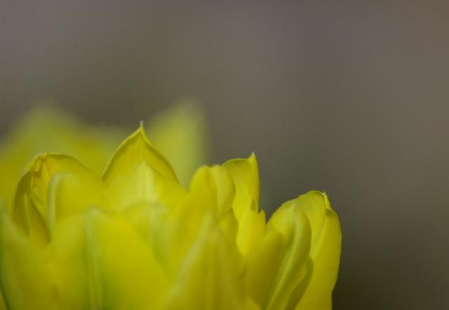 Soft Yellow Petals
