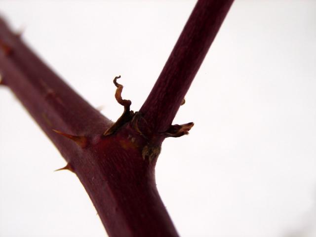 Wild Pricklebush