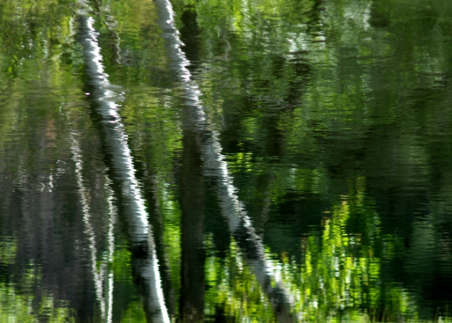 Birches Reflecting