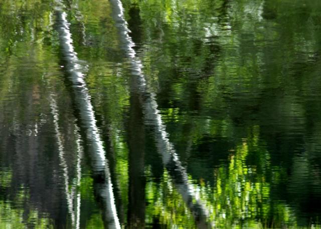 Birches Reflecting