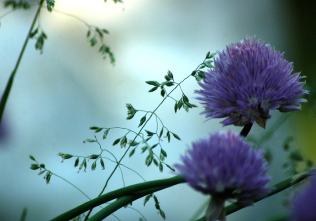 Chives and Grass