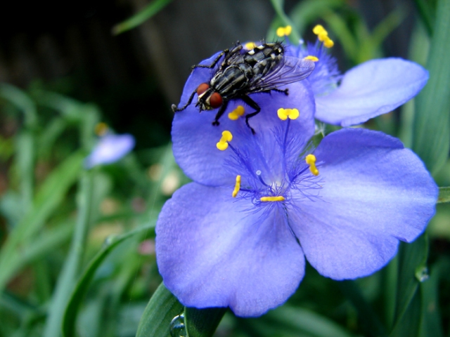 Fly on the Spiderwort