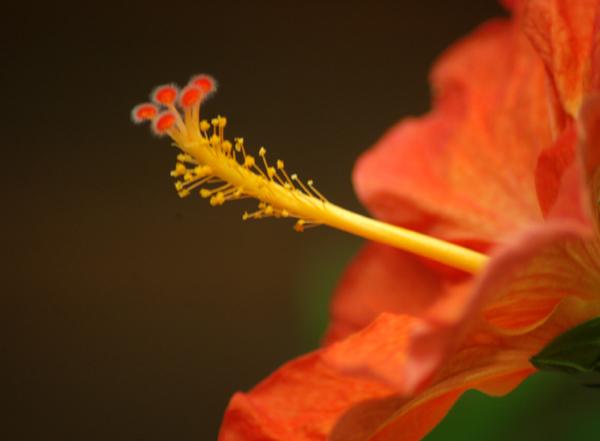 Fiery Hibiscus
