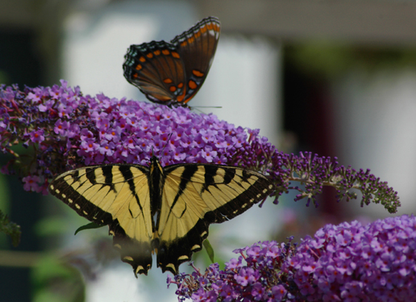 Loving the Butterfly Bush