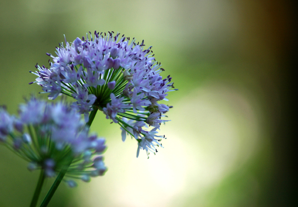 Purple Chive Bloom