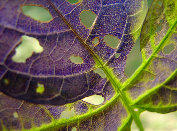Bittersweet Leaf