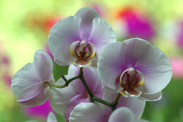 Blushing Orchids