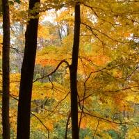 Yellow Wood