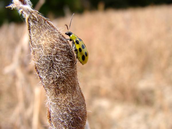 Beetle on a Soyabean