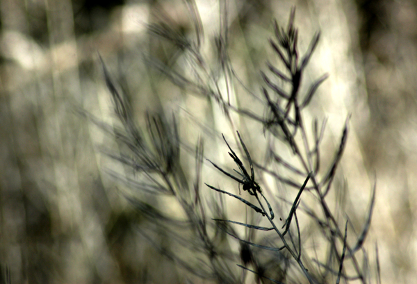 Dried Grass in the Wind
