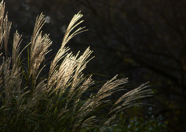 Contre jour imagery of light for Ornamental grasses with plumes