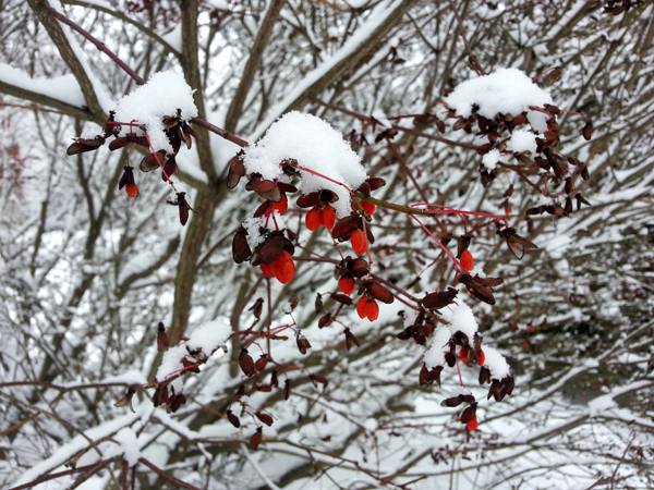 Burning Bush Berries