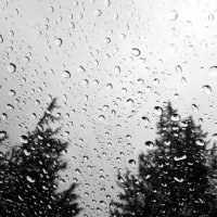 Rain Drops and Fir Trees