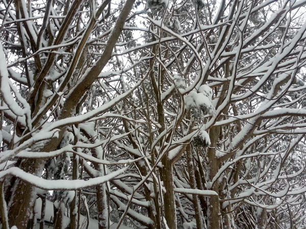 Snowy Cedar Hedge