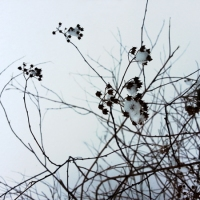 Winter Garden Spirea