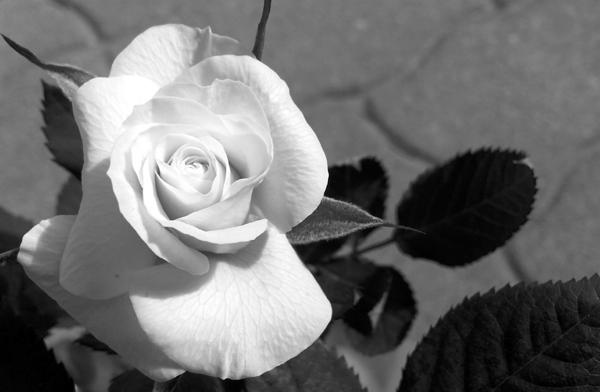 Mini White Rose