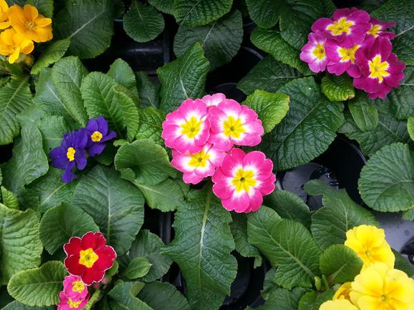 Pretty Primroses