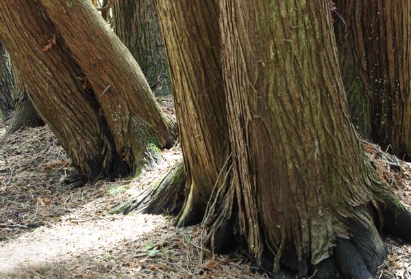 Cedar Trunks
