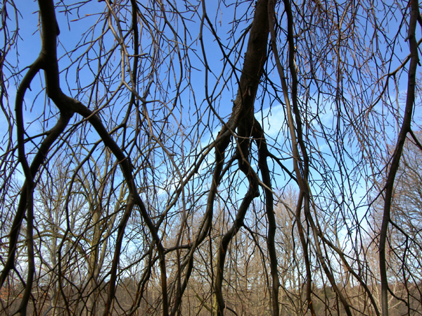 Curtain of Branches
