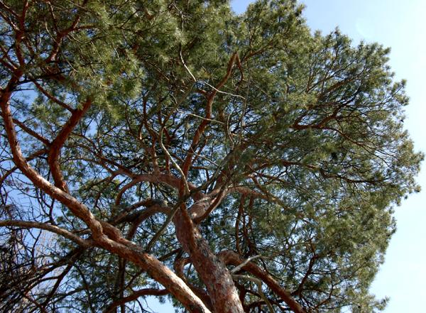 Gnarled Red Pine