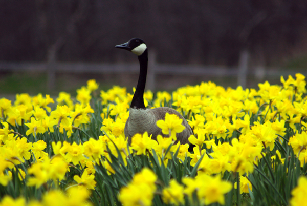 Goose in the Daffodils